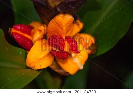 Orange Flowers. Borneo, Malaysia