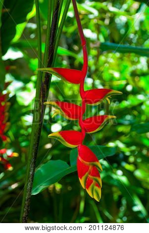 The Flowers Are Red With A Yellow Border On A Background Of Green Leaves. Borneo, Malaysia