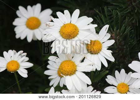 Ox-Eyed Daisy's (Chrysanthemum leucanthemum) growing along a gravel roadway.