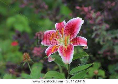 Fragrant and pretty Stargazer lily in a road side garden.