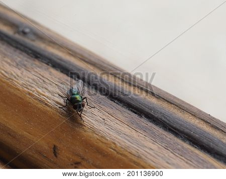 Fly (order Diptera) insect animal on a window sill