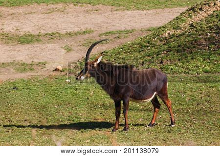 Side view of sable antelope (hippotragus niger)