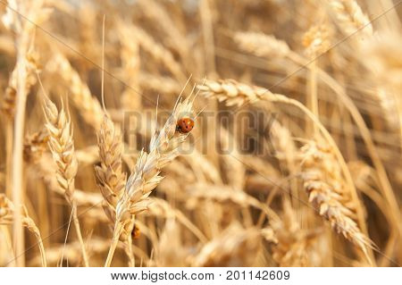 harmony, insects, nature concept. in the field of rye there are lots of red well known beetles ladybugs crawling on the mellow yellow straws full of grains ready for harvesting