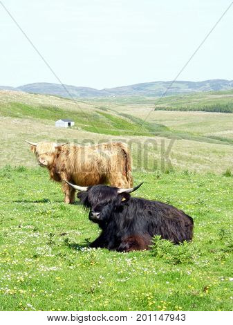Vaches Highland - Île d'Islay - Ecosse