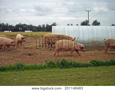 Pigs In Field With Shelter