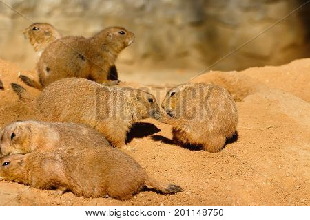 Group of black tailed prairie dogs relaxing and playing in sandy habitat