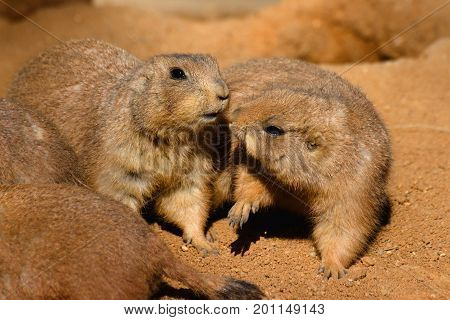 Two black tailed prairie dogs playing in sandy terrain