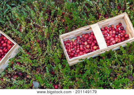 basket with fresh cranberries on a background of cranberry bushes