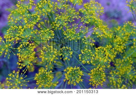 spice field color branch bush bloom blooming fresh herb fennel blossom