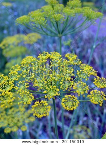 spice field color branch bush bloom blooming fresh herb