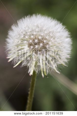 A Dandelion Seed Head also known as a Blowball or Clock