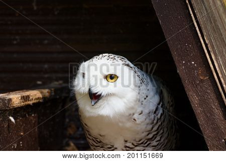 Angry looking snowy owl tries to chase off perceived threat.