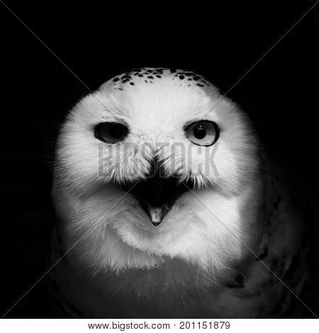 Frontal look of angry looking face of snowy owl (bubo scandiacus) on black background. Low key black and white image