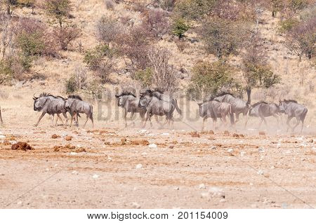 Blue wildebeest also called brindled gnu Connochaetes taurinus running in North-Western Namibia
