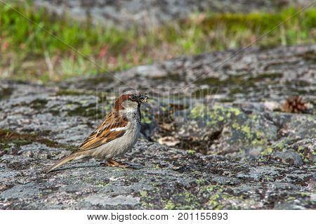 Sparrow with grain in a beak on a stone
