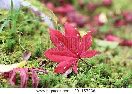 Japan Maple Leaf