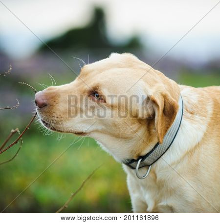 Yellow Labrador Retriever Dog Outdoor Portrait Sniffing Stick