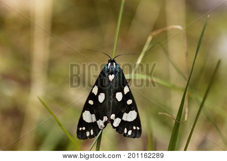 Macro photo of scarlet tiger moth (Callimorpha dominula)