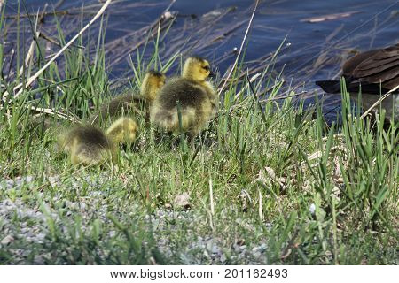 Fuzzy little goslings (Canada Geese) about 1 month old playing in the grass  on a rise above a body of water.