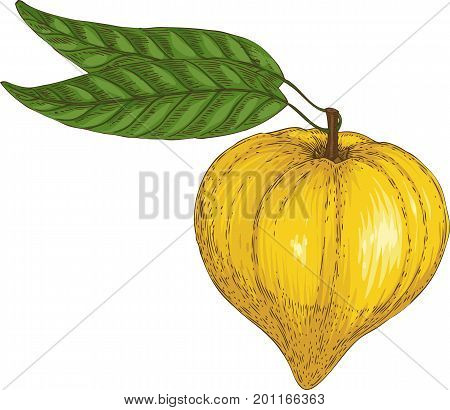 Ripe Yellow Canistel or Eggfruit with Green Leaves Isolated on a White Background