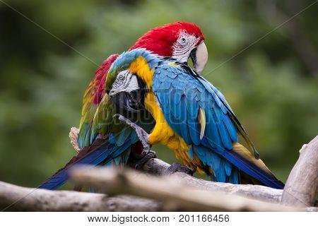 Gooming Macaws