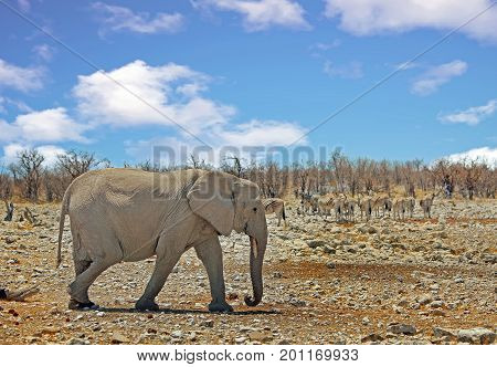 Elephant walking across the bushveld with zebras in the background with a nice cloudy sky in Etosha National Park Namibia