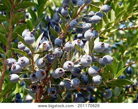Blackthorn fruits in Neve Monosson near Or Yehuda Israel