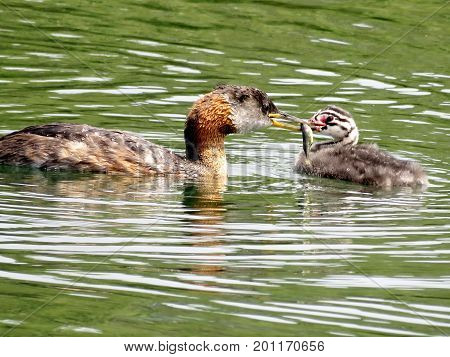 Red-necked grebe feeds its chick on the Lake Ontario in Humber Bay Park of Toronto Canada July 21 2017