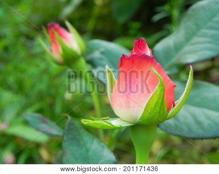 Red rosebuds in summer green flower garden