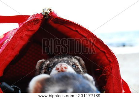 Two cute ferret boys in a red pet carry bag