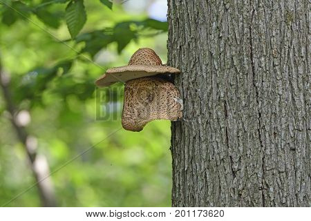Unique Tree Fungus Nose with Hat in Sleeping Bear Dunes National Lakeshore in Michigan