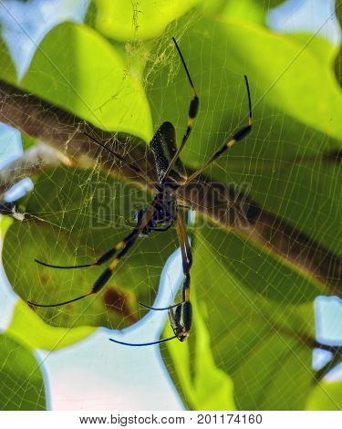 Golden Orb Spider in its web in Cahuita Beach in Costa Rica