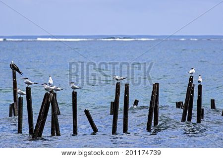 Royal terns perched on pillars in Cahuita National Park - Costa Rica