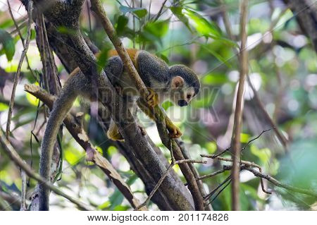 Squirrel monkey in a branch in Manuel Antonio NP - Costa Rica