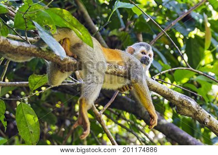 Squirrel monkey in a branch in Manuel Antonio NP - Costa Rica