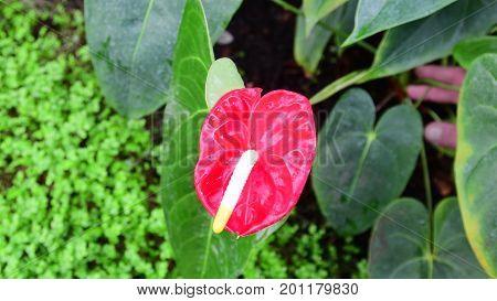 Anthurium plants. Red anthurium flowers in botanic garden anthurium andraeanum, araceae orarum . Green and red background. Tropical plants