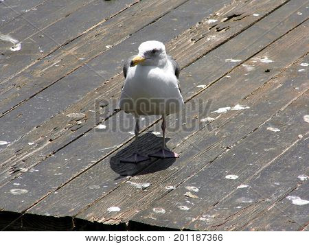 Lonely seagull standing over his shadow on a wooden dock. The picture was taken in San Francisco California.