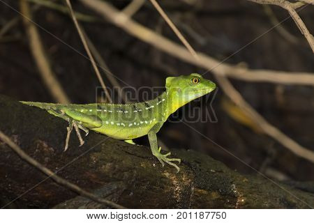 Female Emerald Basilisk Lizard In Tortuguero - Costa Rica