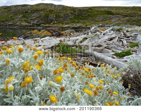 Golden blooms of cold on a white bush. Evocative bleached trees next to the dark cold waters of the Beagle Channel. Picture taken in H Island Ushuaia - Argentina