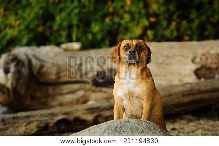 Puggle dog outdoor portrait at beach with driftwood