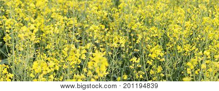 Rapeseed field Blooming canola flowers close up.
