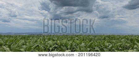 Sugar beet crops field agricultural landscape. Sugar beet crops