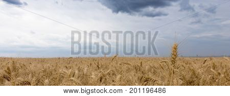 Summer wheat field and Storm clouds.  Storm clouds.