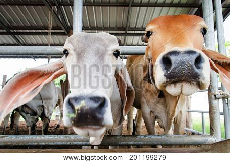White and brown cow in the cowshed, livestock