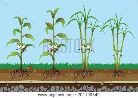 Root rot disease in plants , Corn rotten , Sugarcane rotten , Plant disease