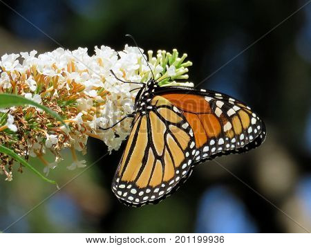Monarch on a white flower in High Park of Toronto Canada August 23 2017