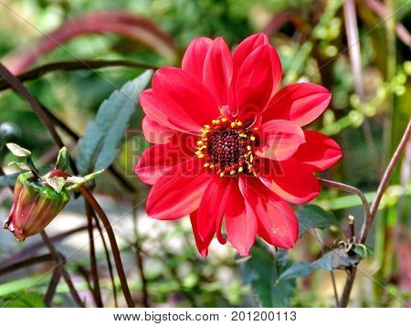 Red dahlia flower in High Park of Toronto Canada August 23 2017
