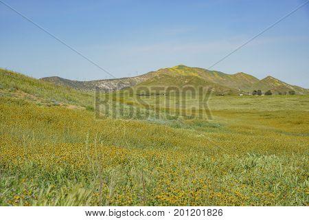 Beautiful Yellow Goldifelds Blossom With Fiddleneck