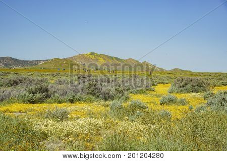 Beautiful Yellow Goldifelds And Tidy Tips Blossom