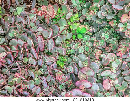 Succulent Plants In Large Patch Of Vines With Red And Green Waxy